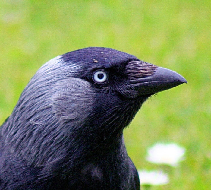 Adam Duritz was right: corvids have impressive quantitative skills. When shown food being hidden under five boxes and then mixed up with empty ones, Western Jackdaws will only turn over the number of boxes necessary to find all five pieces.