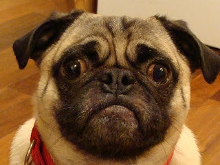 From one terrified pug.