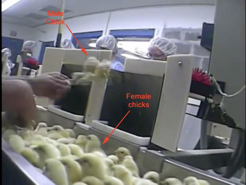"Since male chicks can not lay eggs and will not become chickens to eat, they do not work in modern agriculture. Therefore, they are crushed by a process called maceration. According to the United States Veterinary Medical Association, ""Death by maceration in one-day-old poultry occurs immediately with minimal pain and anguish. & Quot; Approximately 21 to 22 million male chicks are macerated every month in the United States, according to the most recent data from the United States Department of Agriculture. The animal welfare group Farm Forward is currently applying to Hellman & s Best Foods find a way to end the maceration, specifically using technology to manipulate the genus of the eggs before hatching. Unilever, owner of Hellman & # x27; s and Best Foods, did not respond to questions from BuzzFeed specifically about maceration. Members of the egg industry say they would use this technology, if it worked. & quot; We would really like to use a technique that allows us to (manipulate the genus of eggs before hatching) & quot; said Dr. Neil O'Sullivan of Hy-Line. However, so far & quot; the technology has not been developed to the point of being reliable and functioning properly & quot; .Chad Gregory, CEO of United Egg Producers told BuzzFeed: ""It's one of those practices that the egg industry All over the world has the challenge of changing, and that we are trying to address and work. & quot; He did not respond to BuzzFeed's questions specifically about maceration. Members of the egg industry say they would use this technology, if it worked. & quot; We would really like to use a technique that allows us to (manipulate the genus of eggs before hatching) & quot; said Dr. Neil O'Sullivan of Hy-Line. However, so far & quot; the technology has not been developed to the point of being reliable and functioning properly & quot; .Chad Gregory, CEO of United Egg Producers told BuzzFeed: ""It's one of those practices that the egg industry All over the world has the challenge of changing, and that we are trying to address and work. & quot; He did not respond to BuzzFeed's questions specifically about maceration. Members of the egg industry say they would use this technology, if it worked. & quot; We would really like to use a technique that allows us to (manipulate the genus of eggs before hatching) & quot; said Dr. Neil O'Sullivan of Hy-Line. However, so far & quot; the technology has not been developed to the point of being reliable and functioning properly & quot; .Chad Gregory, CEO of United Egg Producers told BuzzFeed: ""It's one of those practices that the egg industry All over the world has the challenge of changing, and that we are trying to address and work. & quot; if it worked. & quot; We would really like to use a technique that allows us to (manipulate the genus of eggs before hatching) & quot; said Dr. Neil O'Sullivan of Hy-Line. However, so far & quot; the technology has not been developed to the point of being reliable and functioning properly & quot; .Chad Gregory, CEO of United Egg Producers told BuzzFeed: ""It's one of those practices that the egg industry All over the world has the challenge of changing, and that we are trying to address and work. & quot; if it worked. & quot; We would really like to use a technique that allows us to (manipulate the genus of eggs before hatching) & quot; said Dr. Neil O'Sullivan of Hy-Line. However, so far & quot; the technology has not been developed to the point of being reliable and functioning properly & quot; .Chad Gregory, CEO of United Egg Producers told BuzzFeed: ""It's one of those practices that the egg industry All over the world has the challenge of changing, and that we are trying to address and work. & quot;"