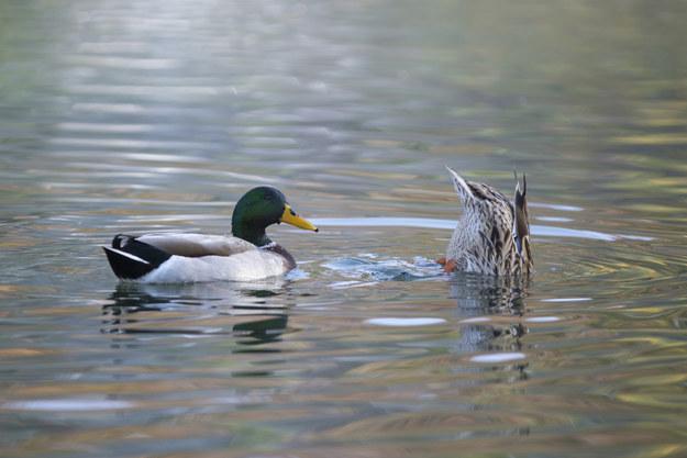Ducks have sex