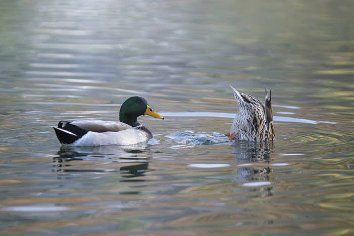 This Is How Ducks Have Sex And It's Pretty Incredible