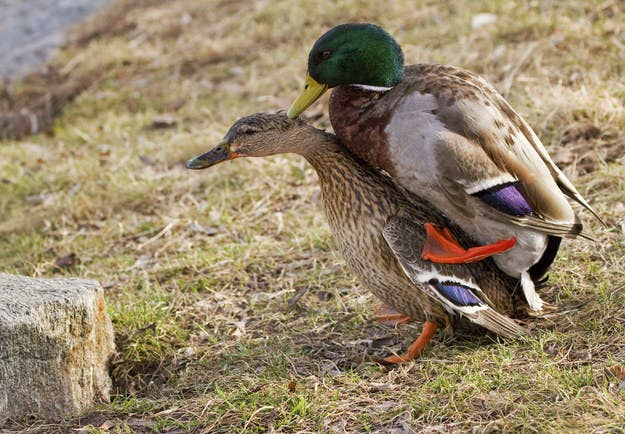 9ab8dca0b721 This Is How Ducks Have Sex And It s Pretty Incredible