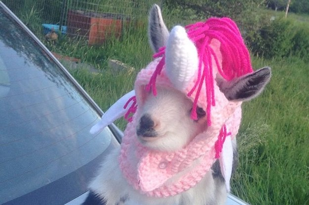 Adorable Goats Wearing Clothes - 22 adorable animals wearing miniature sweaters