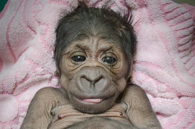 voil u00e0  u00e0 quoi ressemble un b u00e9b u00e9 gorille