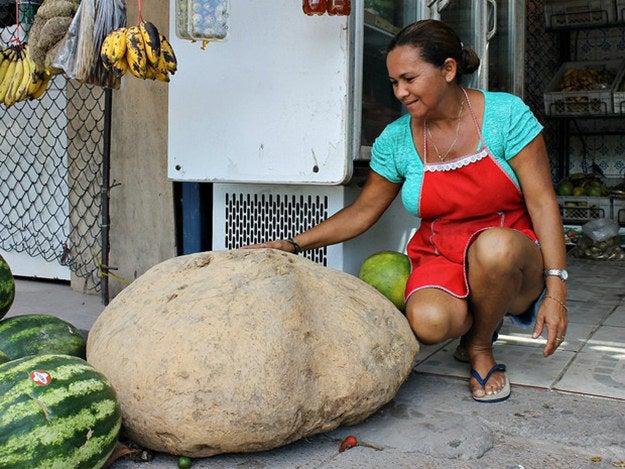 Encontrada por uma agricultora na zona rural de Manaus.