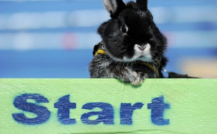 "The organization stipulates a carefully selected series of obstacles designed to test the agility and prowess of the athlete. There are several different classes of ability, ranging from easy to champion level. Officially, the competitor with the fewest amounts of ""faults,"" or contacts wins the run. There are of course regulations for the athletes themselves, which include the barring of pregnant rabbits and those under 4 months. Sorry youngins', maybe next year."