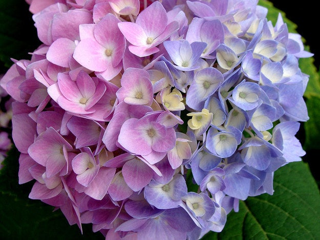 Some flowering plants, like hydrangeas, change color depending on the pH level of the soil. Adding coffee grounds will reduce the pH level and give you bright blue flowers.