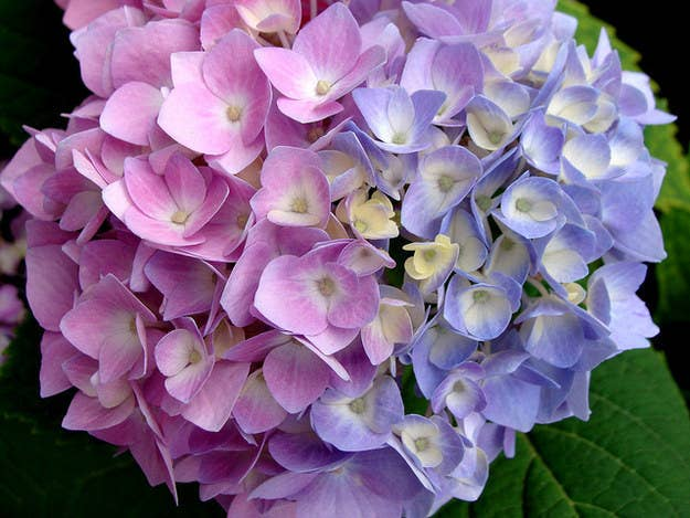 Some Flowering Plants Like Hydrangeas Change Color Depending On The Ph Level Of