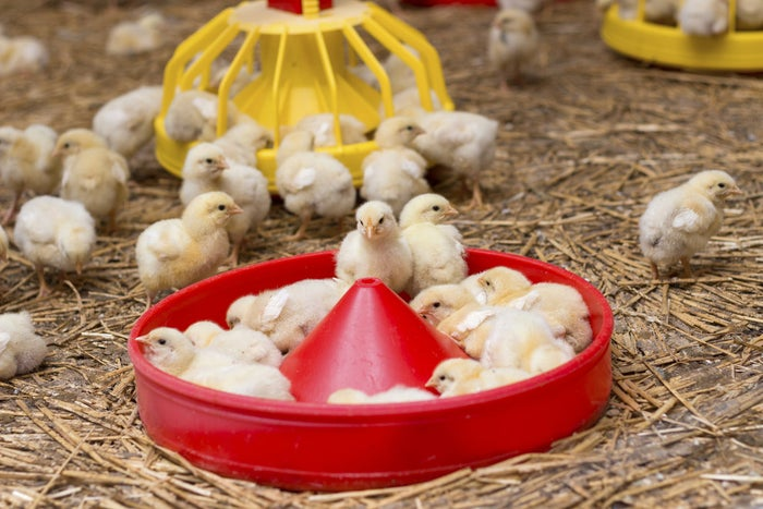 Baby chickens on a chicken farm, close up.
