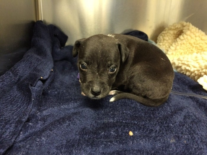 A tiny puppy!The American pit bull terrier, thought to be around 3 weeks old, was handed to a local rescue centre before being treated by vets at the BluePearl Veterinary Partners in Waltham.
