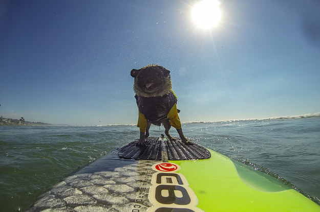 Surfing Pug Why Does Everyone Love Brandy The Pug - Brandy the award winning surfing pug