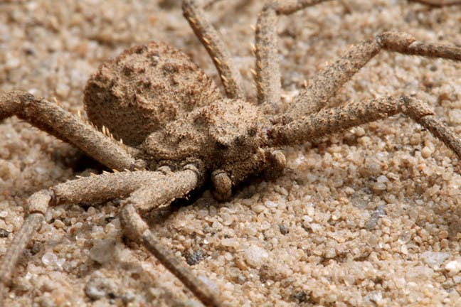 This venomous spider ambushes its prey by waiting patiently under the sand.