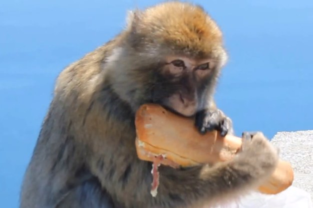 Watch This Monkey Steal A Tourist S Lunch Right Out Of His Bag