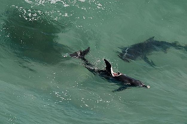 Two Monster Sharks Are Eating Dolphins And Closing ...