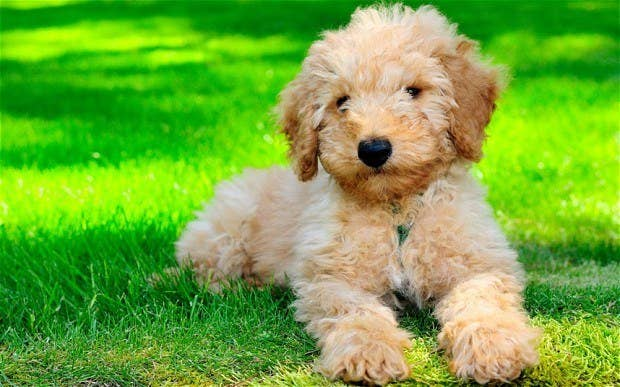 Labradoodle is the cross-bred of Labrador Retriever and Poodle. They are known for their intelligence and friendliness.