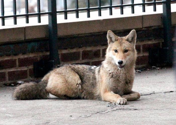 Photo of: a wolf (DIREWOLF??!?) roaming around Stuyvesant Town in lower Manhattan (Photo Credit: New York Post/G.N. Miller).