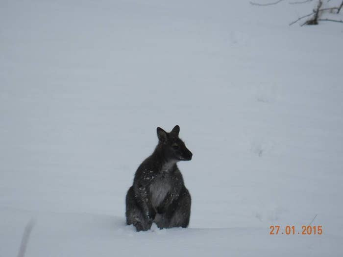 *From the photos, it does appear it may be a wallaby, but for the sake of this story let's just play along.