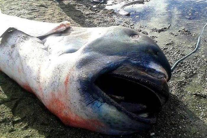 "The dead megamouth shark was found in Pio Duran, Albay. It was nicknamed ""Toothless,"" after its resemblance to the character in the How to Train Your Dragon movies."