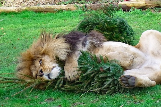 Image result for lion catnip