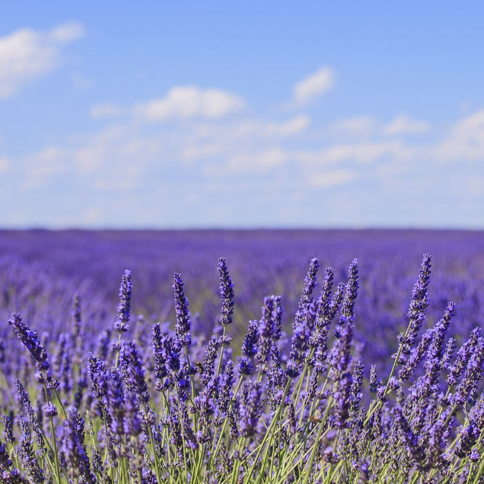 Studies have found that lavender aromatherapy helps with both sleep and decreasing the stress hormone, cortisol. People in Provence (the lavender capital of the world!) must be the most relaxed people on Earth.