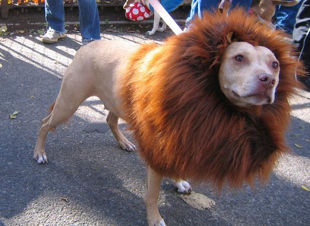 This ferocious lion.