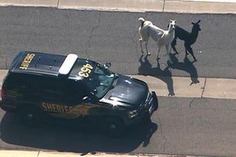 Llamas Lead Authorities On Chase Through Arizona Streets, Capture America's Heart