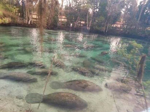 The manatee mob was attracted to the Three Sisters Springs during the high tide and cold temperatures.