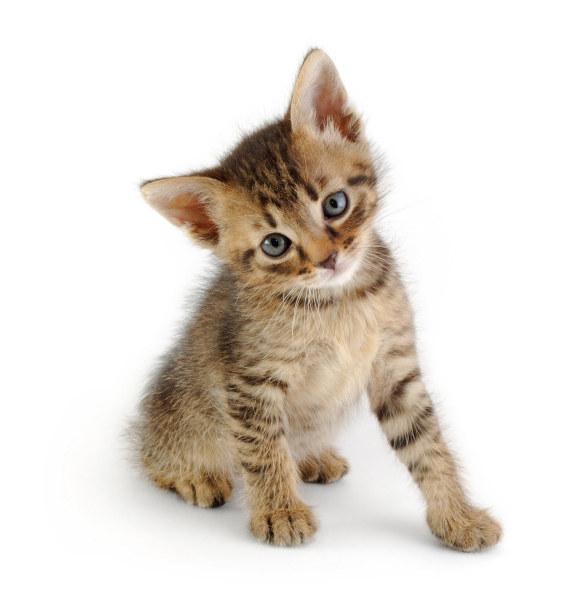 Black grey striped kitten