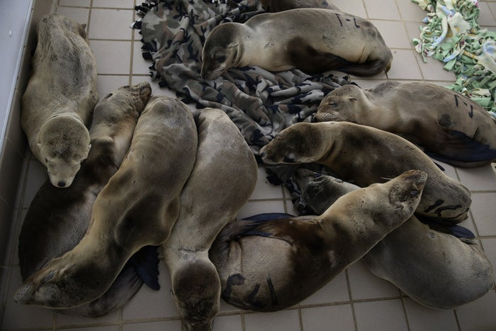 Rescued sea lion pups rest in a holding pen at the Pacific Marine Mammal Center, Monday, March 2, 2015, in Laguna Beach, California.