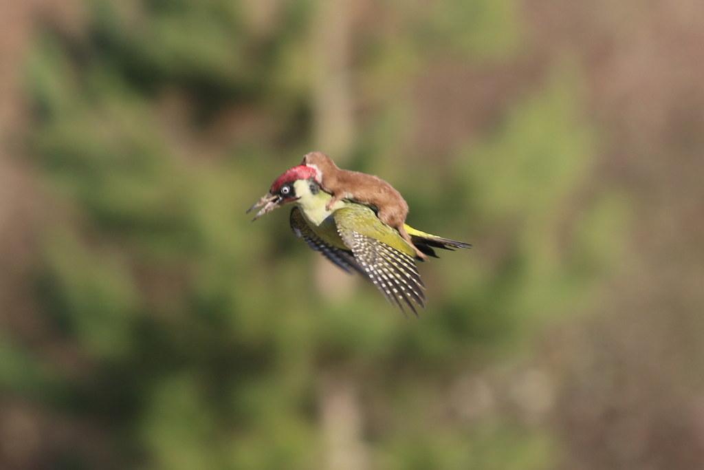 Esta foto incrível de um furão montando um pica-pau parece ter saído de um livro de fábulas