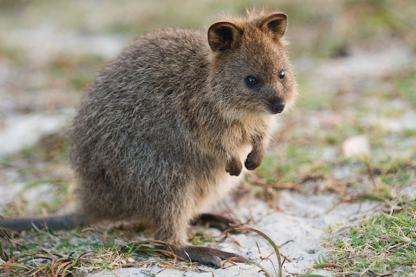 Swans Have Come Back >> 7 Reasons Quokkas Are Australia's Most Adorable Animals
