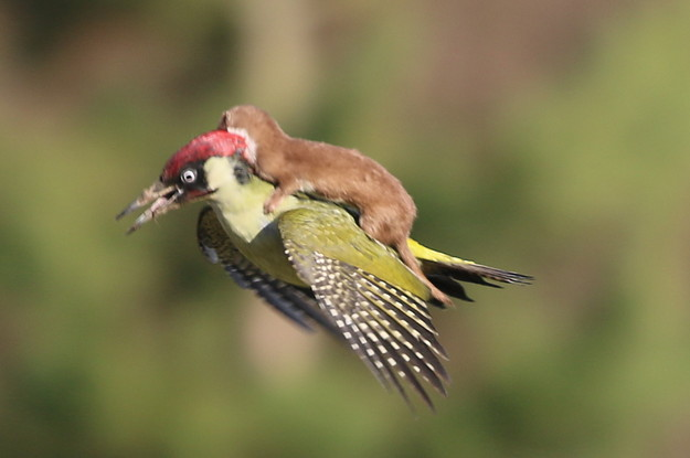 This Incredible Photo Of A Baby Weasel Riding A Woodpecker Is Straight Out Of A Children's Fantasy Book