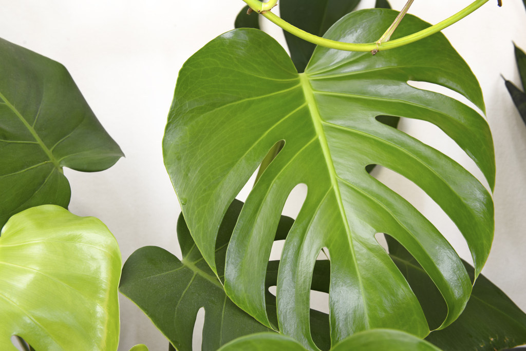 Beautiful This Tropical Looking Houseplant Comes In Many Different Sizes, Shapes, And  Coloring,
