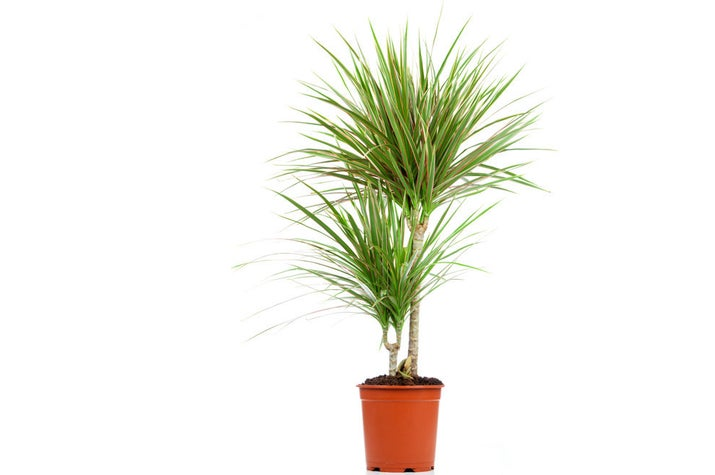 If you're looking to spruce up your floorspace, look to this easy-to-handle plant. All you have to do is keep it dry and somewhere on the warm side, as they do best in temperatures between 65 degrees and 80 degrees. Dracaena also like plenty of light, so a sunny window spot will be handy too.Is it safe for cats and dogs? The ASPCA says no.