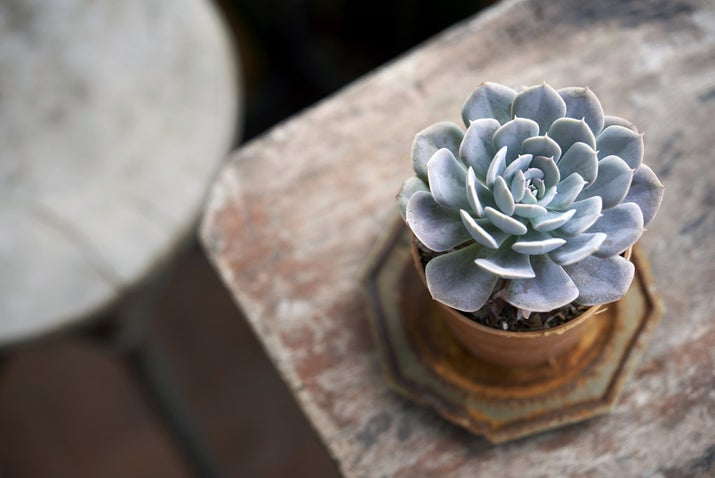This is one of the prettiest succulent plants because of the bloom-like shape it grows in. There are many varieties and colors, so you can easily find the right one to go with a specific color scheme in your own home if you have one. Be sure to give these guys plenty of constant light and keep the soil moist (not flooded) to keep 'em healthy.Is it safe for cats and dogs? The ASPCA says yes.