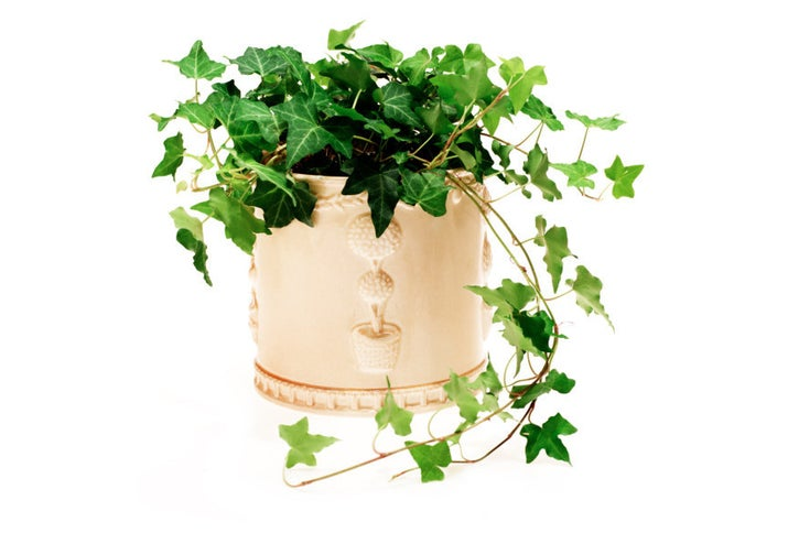 This romantic plant is a wonderful climber, so they're great for hanging indoors. If you wanna get really fancy, pot it with a stake to watch climbing commence...over time anyway. Moist soil and cool temperatures will make your ivy thrive.Is it safe for cats and dogs? The ASPCA says no.