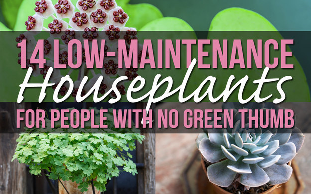 14 houseplants for people with no green thumb for Plants that require no maintenance