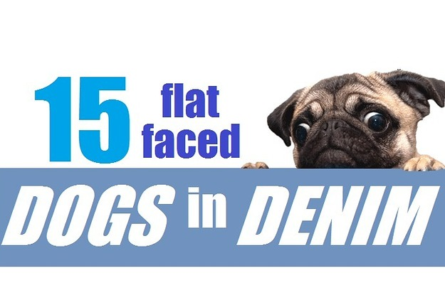 15 Flat Faced Dogs In Denim Jackets