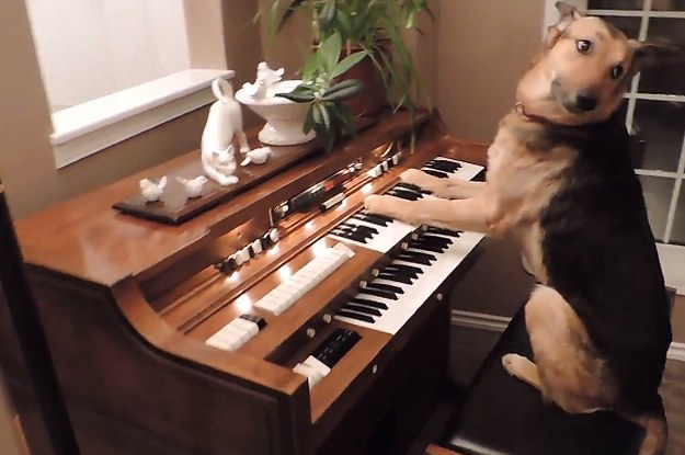 this dog is a musical genius that can play the piano like it ain 39 t no thing. Black Bedroom Furniture Sets. Home Design Ideas