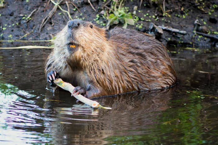 In case you didn't know, the official mammal of New York state is the beaver. There's even a special, little critter named José, who's been living in the Bronx River since 2006 — pretty dam cool.