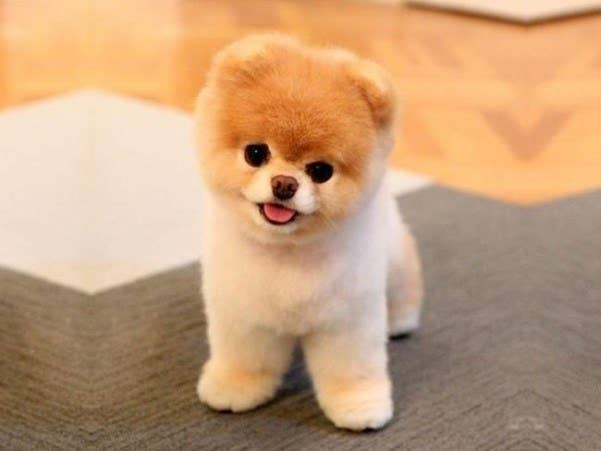 What Type Of Dog Is Jiffpom