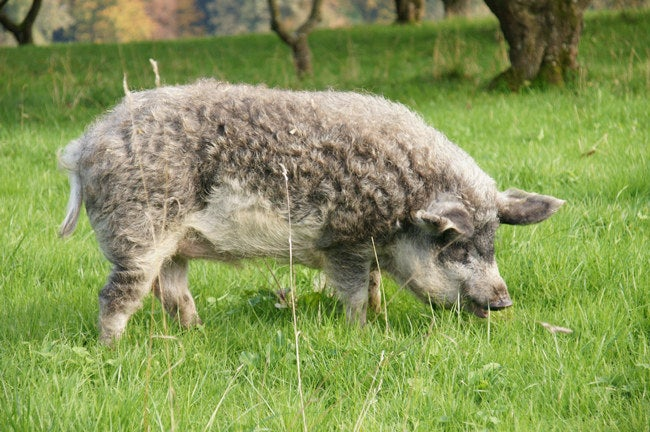 """As it is the case in Spain, Pork is an essential ingredient in Hungarian gastronomy. In fact, Hungarians have their own precious """"mangalica"""" ham"""