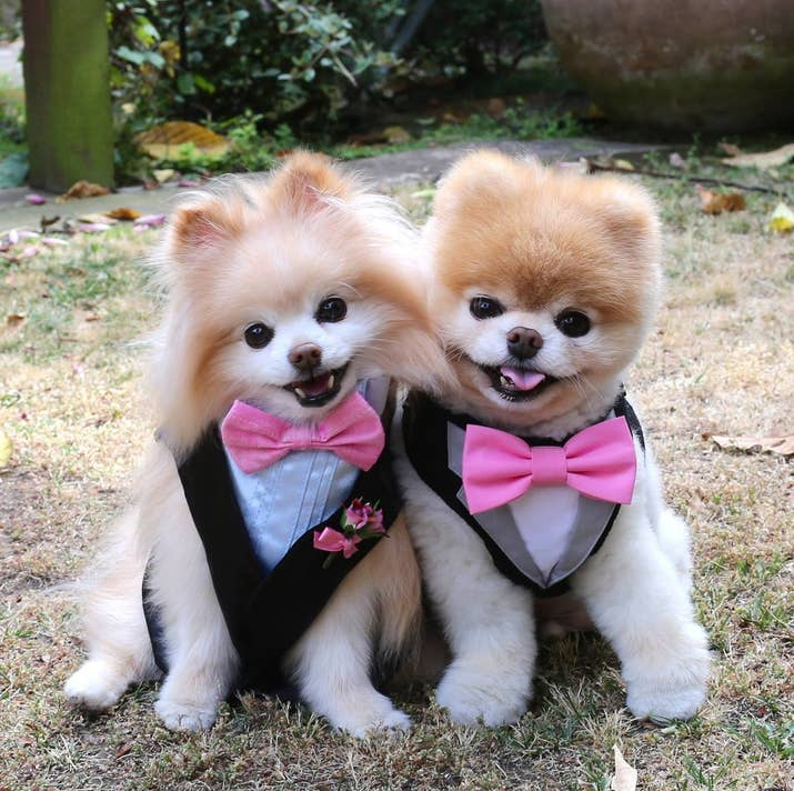 Is Boo Just A Pomeranian With A Haircut
