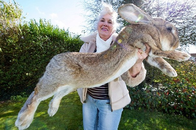 Worlds largest rabbit gets through 4000 carrots a year