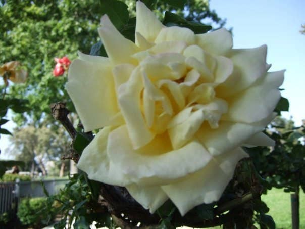 She's white(ish) and is a Rose! Isn't her name awesome?!