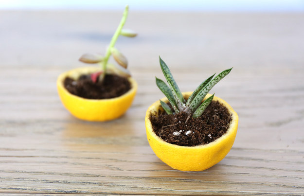 Germinate seedlings indoors in a citrus rind.