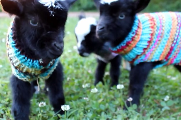 https://img.buzzfeed.com/buzzfeed-static/static/2015-05/26/21/campaign_images/webdr07/these-baby-goats-in-tiny-sweaters-will-make-your--2-548-1432690532-4_dblbig.jpg