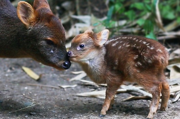 votes le pudu Getting-up-close-and-personal-with-the-tiny-south-2-22904-1433982920-8_dblbig