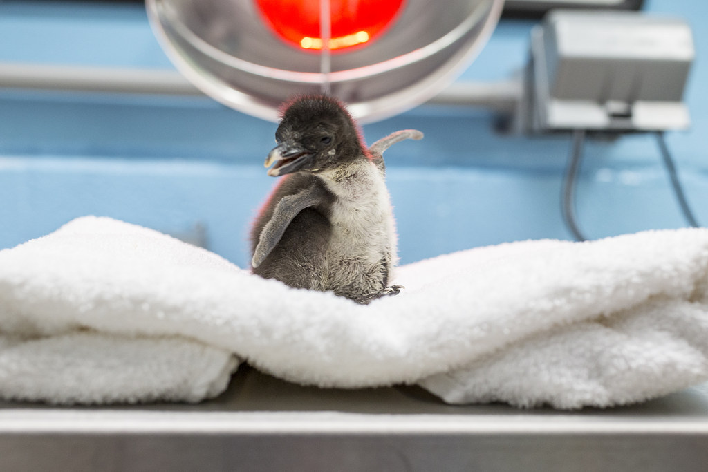 This Baby Rockhopper Penguin Is The Cutest