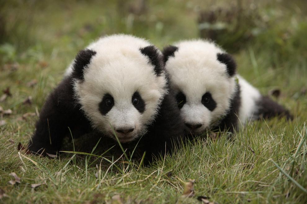 What Kind Of Dog Looks Like A Panda Bear